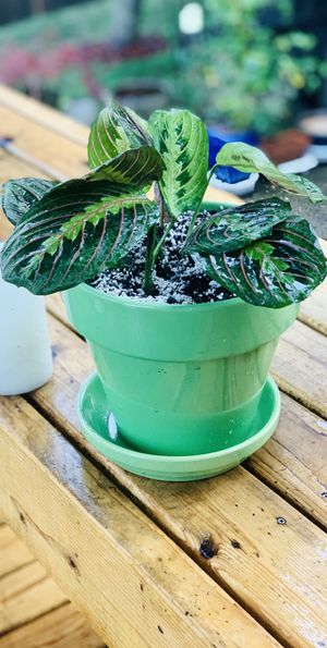 Live indoor Red Veined Prayer house plant (Maranta) in a textured ceramic planter flower pot with base included—firm price for Sale in Seattle, WA