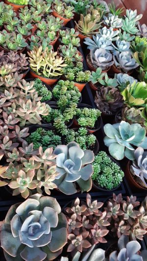"""4"""" pots with succulent plants $2.50 each and $45 for tray of 20 for Sale in La Mirada, CA"""