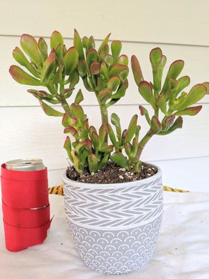 Finger Jade Succulent Plants in Gray Ceramic Planter Pot- Real Indoor House Plant for Sale in Auburn, WA