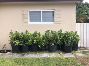 Clusia plants for Sale in Miami, FL
