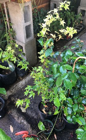 Japanese maple plant in 1 gallon pot 3 feet tall for Sale in Ceres, CA