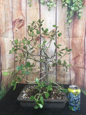 Pre-Bonsai: Pitch Apple Ficus for Sale in Malden, MA