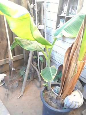 banana tree plant for Sale in Modesto, CA