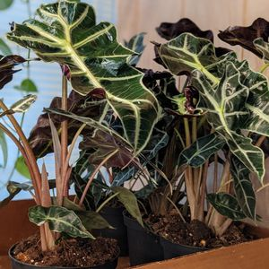 """Alocasia Apolly """"African Mask"""" Indoor Shade Houseplant 8 Inch Pot for Sale in Orlando, FL"""