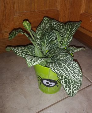 Fittonia house plants$8-$12 each pot for Sale in St. Louis, MO