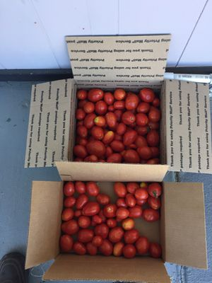 FREE ROMA TOMATOES for Sale in Vacaville, CA