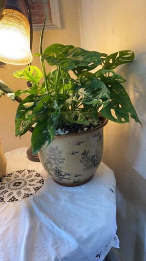 Swiss Cheese plant (Monstera deliciosa) good size rooted cutting! for Sale in Tacoma, WA