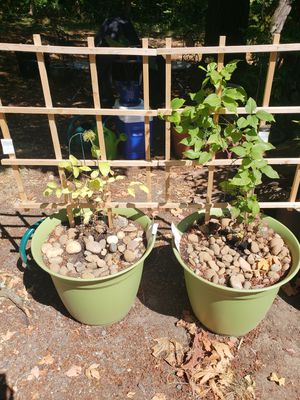 Clematis plants for Sale in Portland, OR