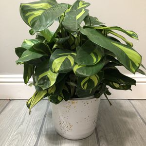 Never Never Maranta Plant for Sale in Los Angeles, CA
