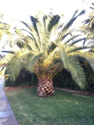 Pineapple Palm Tree for Sale in Orange, CA