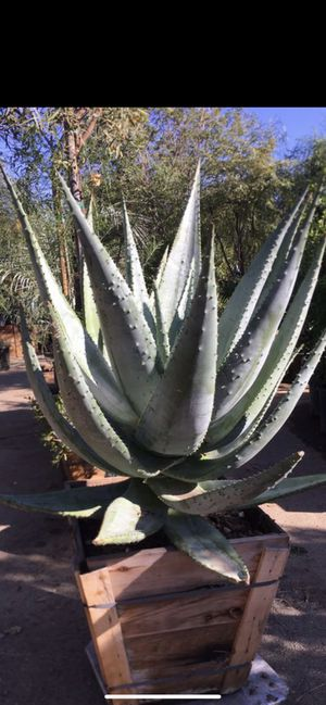 Aloe Marlothii drought tolarent plant for Sale in Highland, CA