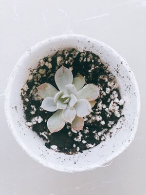 Live healthy echeveria succulents for Sale in Houston, TX