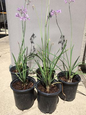 Society garlic plants $4 each for Sale in Stockton, CA