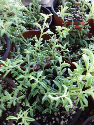 """String of dolphins plant in 4"""" pots $4 each for Sale in Whittier, CA"""