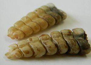 ISO Rattlesnake Tails for Sale in Porterville, CA