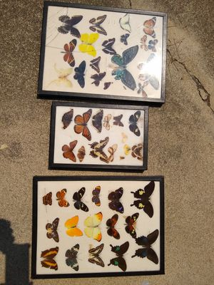 Huge Collection of Mounted Butterflies. Butterfly Butterflies galore. 3 sets together ! for Sale in Santa Clara, CA