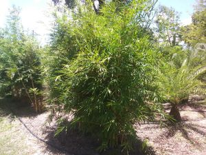 Bamboo 10 foot tall delivered and planted. for Sale in Riverview, FL