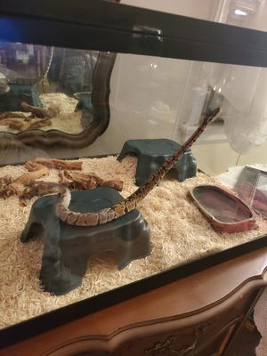 Ball python for Sale in Union, NJ