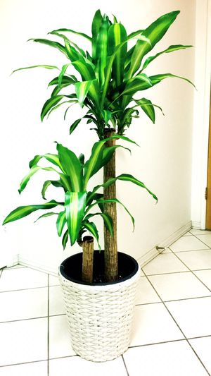 "Fresh And Healthy Dracaena Massangeana - 4'6"" - Basket Planter Not Included - Indoor/Outdoor/Office/Patio Plant for Sale in Garden Grove, CA"