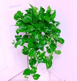 "Trailing Golden Pothos Plants In 6"" Nursery Container for Sale in Garden Grove,  CA"
