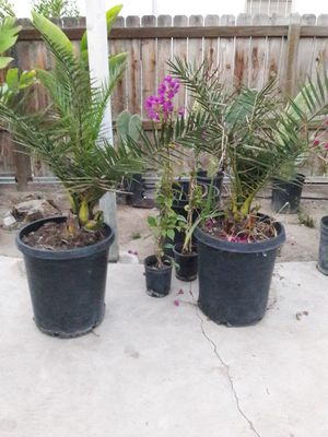 Phoenix Canary Palm Trees for Sale in Bakersfield, CA