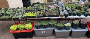 August 7th Succulents for Sale for Sale in San Leandro, CA