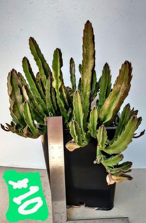 (Orange) Starfish Cactus* Stapelia Gigantea - in 3 Gallon Container for Sale in Santa Ana, CA