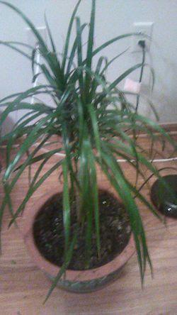 Dracena plant with ceramic pot for Sale in Columbus,  OH