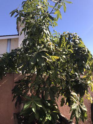 Money tree for Sale in Cerritos, CA