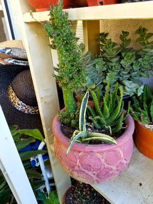Succulants and cactus for Sale in Orange, CA