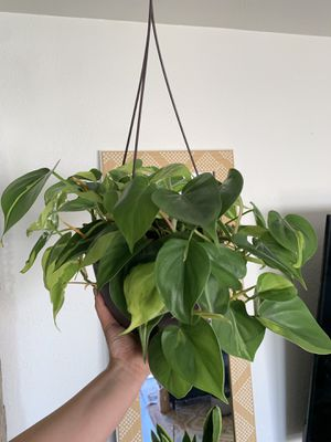 """6"""" Philodendron Brazil for Sale in San Diego, CA"""