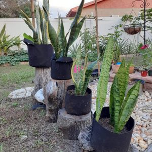 Snake Plants For Sale (Variegated And Common) for Sale in Belle Isle, FL