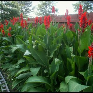 Green. Canna Tropical flower/plant for Sale in Middletown, CT
