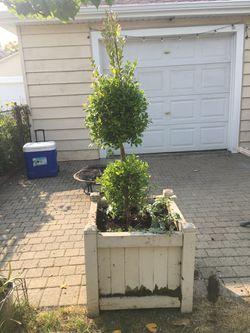 Eugenia Topiary for Sale in Chicago,  IL