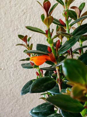 Goldfish plant for Sale in Las Vegas, NV