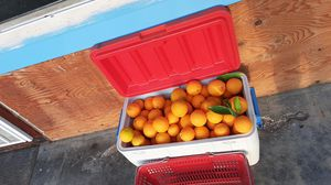 Free oranges please bring your own bag for Sale in San Jose, CA