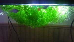 Aquarium plant for Sale in Chantilly, VA