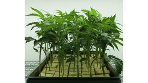 Healthy Well Rooted Clones for Sale in West Covina, CA