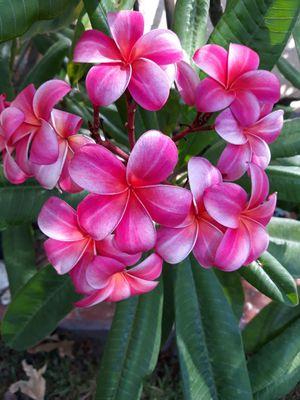 Pink Plumeria Plant for Sale in Rosemead, CA