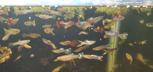 Assorted fancy guppies for Sale in Round Lake, IL
