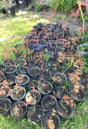 Japanese trees for sale for Sale in Manteca, CA