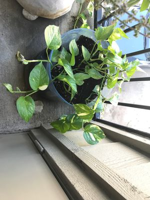 Money plant for sale for Sale in Plano, TX