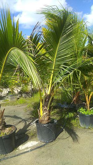 Coconut palms for Sale in Boca Raton, FL