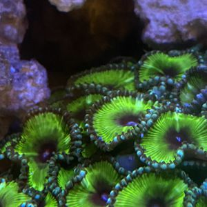 Cinnamon Polyp Zoa Coral Frag For Reef Tank for Sale in Miami, FL