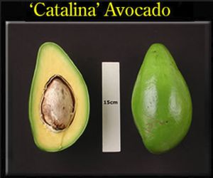 Catalina avocado graftedt rees in 3gal arboles de aguacate catalian injertado en 3gal for Sale in Palm Springs, FL