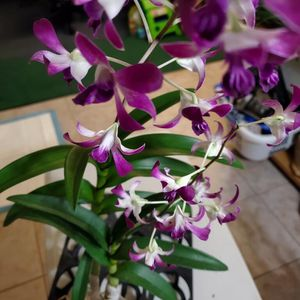 Dendrbium Hawaiian Twinkle Orchid Flower Pot for Sale in Santa Ana, CA