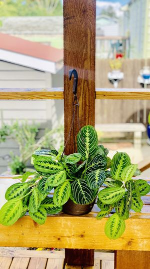 Live indoor Lemon Lime Prayer house plant (Maranta Marisela) in a temporary plastic planter flower pot—firm price for Sale in Seattle, WA