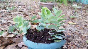 Silver dollar succulent for Sale in Frostproof, FL