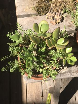 Succulent plants for Sale in Mentone, CA