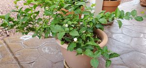 Live Arabian jasmine plant for Sale in Henderson, NV